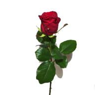 gratis bild på rosor