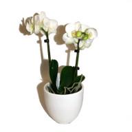 orkidee-liten-vit