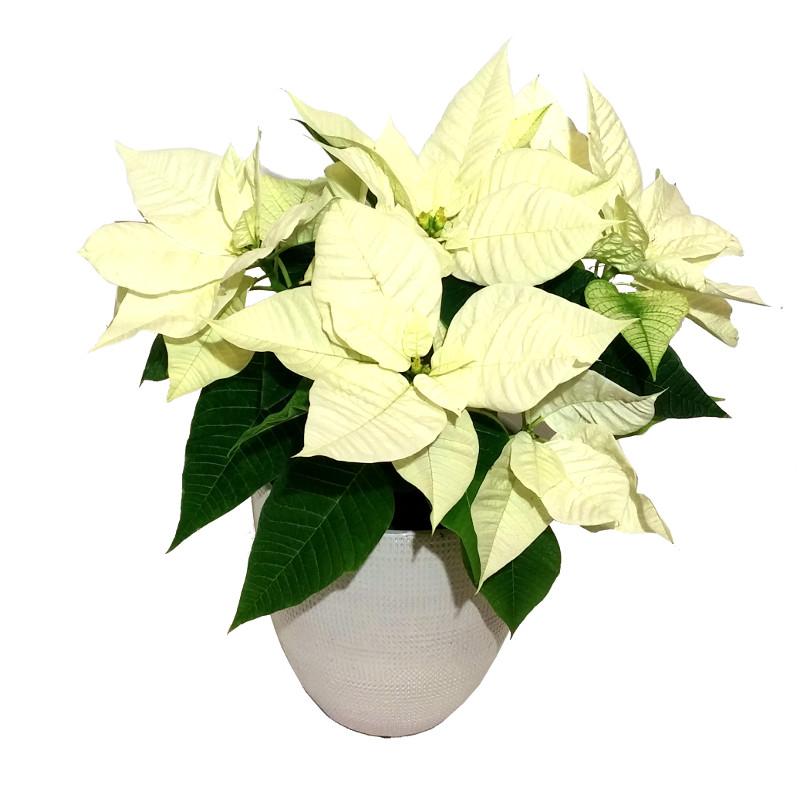 Bildresultat för vit julstjärnor blommor